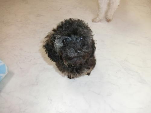 トイプードルの子犬(ID:1248111061)の2枚目の写真/更新日:2017-10-27
