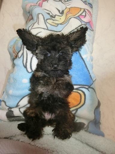 トイプードルの子犬(ID:1248111061)の3枚目の写真/更新日:2017-10-27