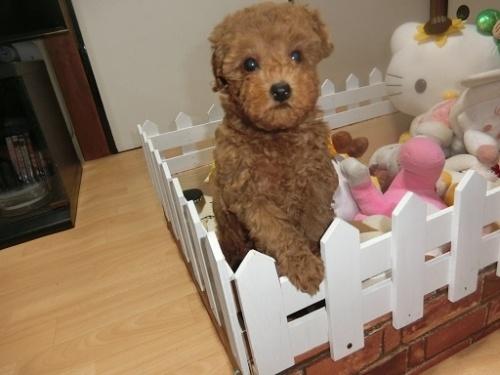 トイプードルの子犬(ID:1248111062)の2枚目の写真/更新日:2017-12-11