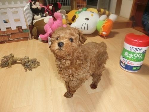 トイプードルの子犬(ID:1248111062)の4枚目の写真/更新日:2017-12-11