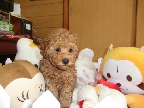 トイプードルの子犬(ID:1248111063)の1枚目の写真/更新日:2017-12-11