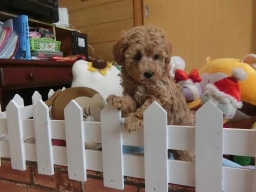 トイプードルの子犬(ID:1248111063)の3枚目の写真/更新日:2017-12-11