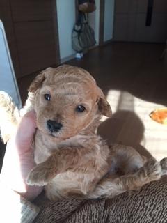 トイプードルの子犬(ID:1248111065)の1枚目の写真/更新日:2017-12-22