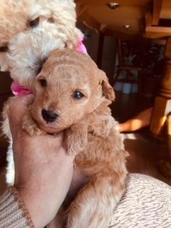トイプードルの子犬(ID:1248111065)の3枚目の写真/更新日:2017-12-22