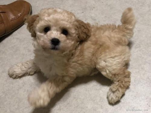 トイプードルの子犬(ID:1248111066)の2枚目の写真/更新日:2018-01-17
