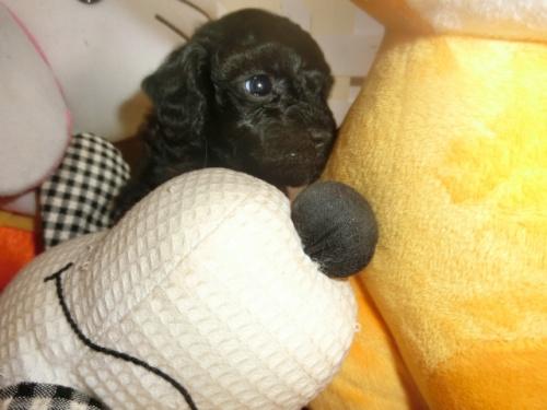 トイプードルの子犬(ID:1248111067)の2枚目の写真/更新日:2018-05-01