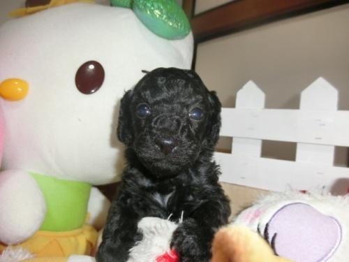 トイプードルの子犬(ID:1248111068)の1枚目の写真/更新日:2018-05-01