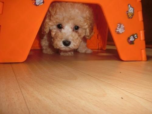 トイプードルの子犬(ID:1248111069)の1枚目の写真/更新日:2018-06-12