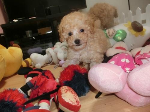 トイプードルの子犬(ID:1248111069)の2枚目の写真/更新日:2018-06-12