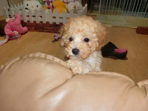 トイプードルの子犬(ID:1248111069)の3枚目の写真/更新日:2018-06-12