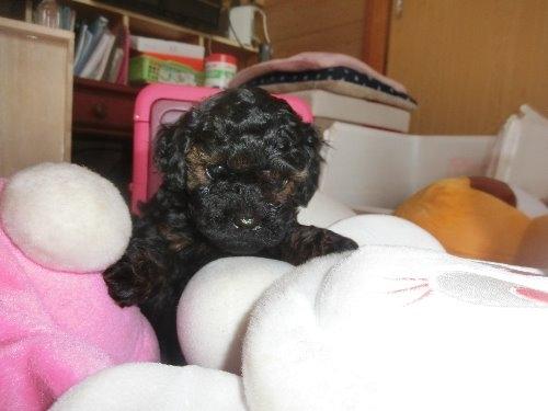 トイプードルの子犬(ID:1248111070)の1枚目の写真/更新日:2019-11-19
