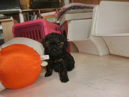 トイプードルの子犬(ID:1248111070)の4枚目の写真/更新日:2019-11-19