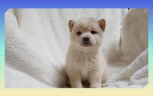 柴犬の子犬(ID:1248211004)の1枚目の写真/更新日:2018-09-05