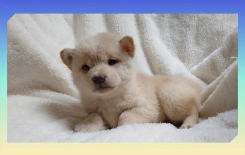 柴犬の子犬(ID:1248211004)の2枚目の写真/更新日:2018-09-05
