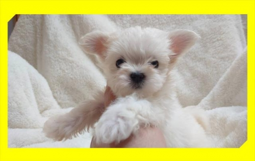 チワワ(ロング)の子犬(ID:1248211005)の2枚目の写真/更新日:2018-09-05