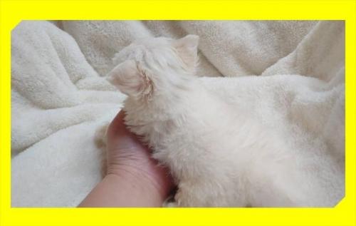 チワワ(ロング)の子犬(ID:1248211005)の3枚目の写真/更新日:2018-09-05