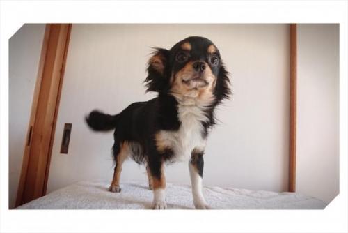 チワワ(ロング)の子犬(ID:1248211006)の1枚目の写真/更新日:2018-09-05