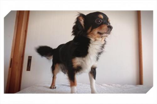 チワワ(ロング)の子犬(ID:1248211006)の2枚目の写真/更新日:2018-09-05