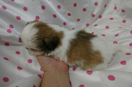 シーズーの子犬(ID:1248211010)の3枚目の写真/更新日:2018-09-20