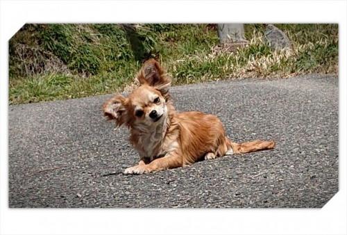 チワワ(ロング)の子犬(ID:1248211025)の1枚目の写真/更新日:2018-09-05