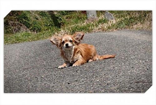 チワワ(ロング)の子犬(ID:1248211025)の2枚目の写真/更新日:2018-09-05