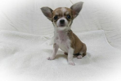 チワワ(ロング)の子犬(ID:1248211026)の2枚目の写真/更新日:2018-09-05