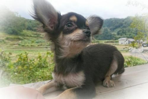 チワワ(ロング)の子犬(ID:1248211027)の2枚目の写真/更新日:2018-09-05