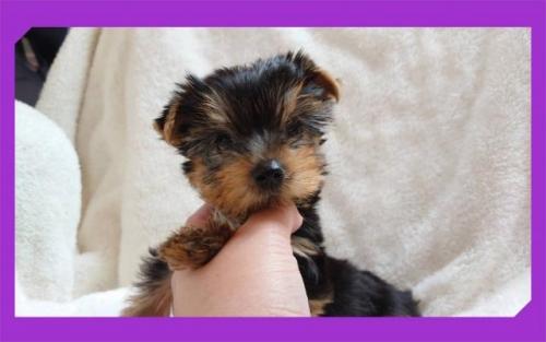 ヨークシャーテリアの子犬(ID:1248211031)の1枚目の写真/更新日:2020-10-16