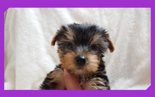 ヨークシャーテリアの子犬(ID:1248211031)の3枚目の写真/更新日:2020-10-16