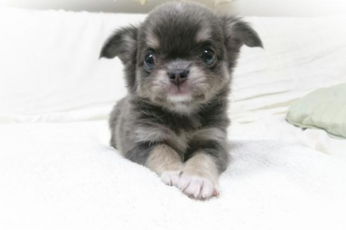 チワワ(ロング)の子犬(ID:1248211032)の2枚目の写真/更新日:2018-09-05