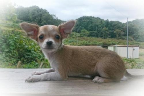 チワワ(ロング)の子犬(ID:1248211035)の1枚目の写真/更新日:2018-09-05