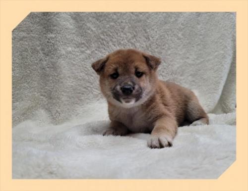 柴犬の子犬(ID:1248211036)の2枚目の写真/更新日:2018-09-12