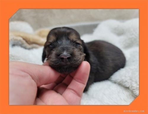 ミニチュアダックスフンド(ロング)の子犬(ID:1248211054)の1枚目の写真/更新日:2021-06-18