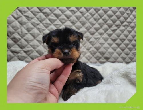 ヨークシャーテリアの子犬(ID:1248211058)の1枚目の写真/更新日:2021-08-26