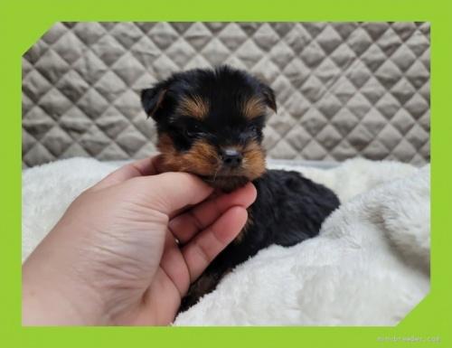 ヨークシャーテリアの子犬(ID:1248211058)の3枚目の写真/更新日:2021-08-26