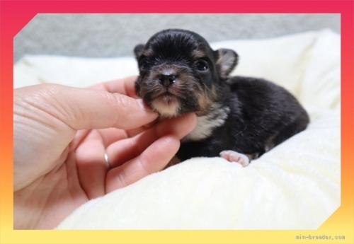 チワワ(ロング)の子犬(ID:1248211061)の2枚目の写真/更新日:2020-08-11
