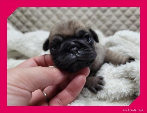 パグの子犬(ID:1248211065)の2枚目の写真/更新日:2021-09-19