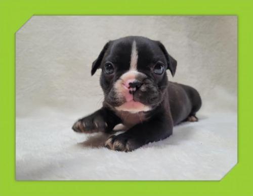 フレンチブルドッグの子犬(ID:1248211077)の1枚目の写真/更新日:2020-10-08