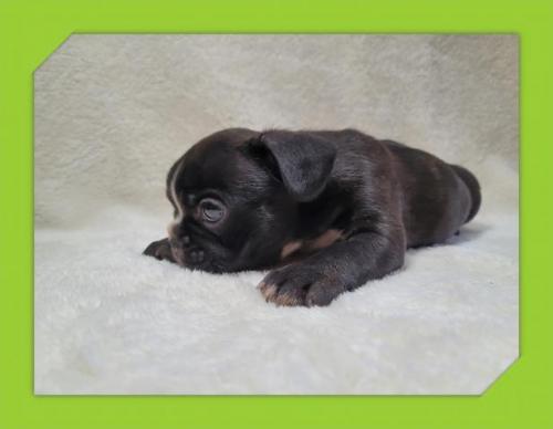 フレンチブルドッグの子犬(ID:1248211077)の3枚目の写真/更新日:2021-05-05