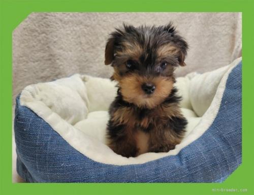 ヨークシャーテリアの子犬(ID:1248211081)の1枚目の写真/更新日:2021-08-26