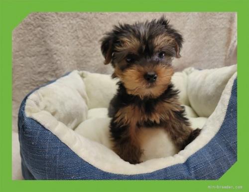 ヨークシャーテリアの子犬(ID:1248211081)の2枚目の写真/更新日:2021-08-26