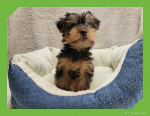 ヨークシャーテリアの子犬(ID:1248211081)の3枚目の写真/更新日:2021-08-26