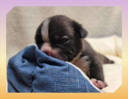 フレンチブルドッグの子犬(ID:1248211102)の2枚目の写真/更新日:2020-10-08