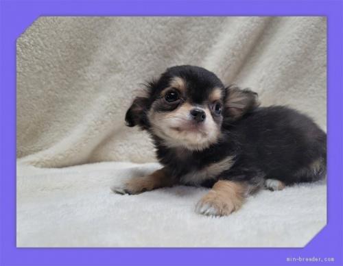 チワワ(ロング)の子犬(ID:1248211106)の2枚目の写真/更新日:2021-05-02