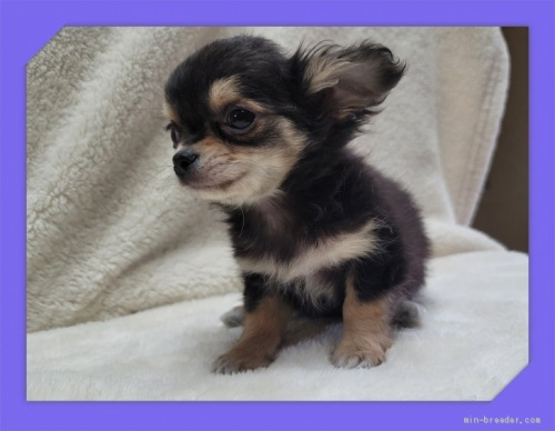 チワワ(ロング)の子犬(ID:1248211106)の3枚目の写真/更新日:2021-05-02