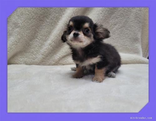 チワワ(ロング)の子犬(ID:1248211106)の4枚目の写真/更新日:2021-05-02