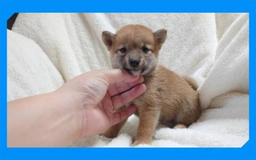 柴犬の子犬(ID:1248211112)の1枚目の写真/更新日:2020-09-22