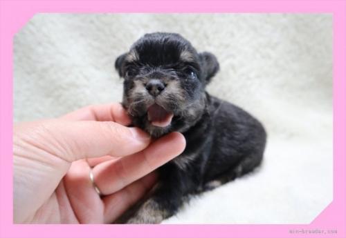 チワワ(ロング)の子犬(ID:1248211116)の1枚目の写真/更新日:2021-03-25