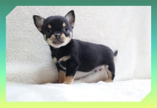 チワワ(ロング)の子犬(ID:1248211129)の1枚目の写真/更新日:2020-08-11