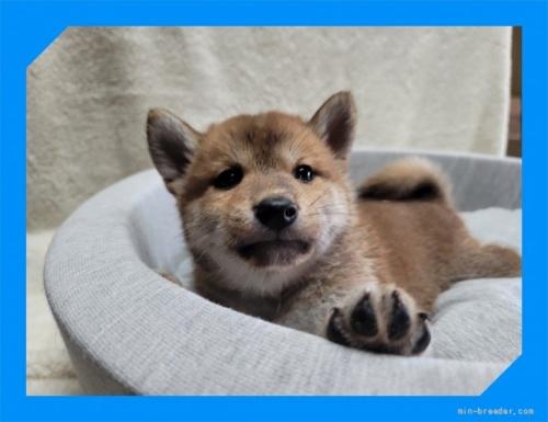 柴犬の子犬(ID:1248211145)の1枚目の写真/更新日:2021-09-10